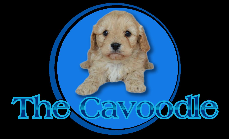 The Cavoodle