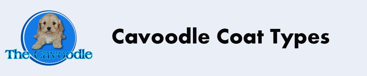 Cavoodle coat care
