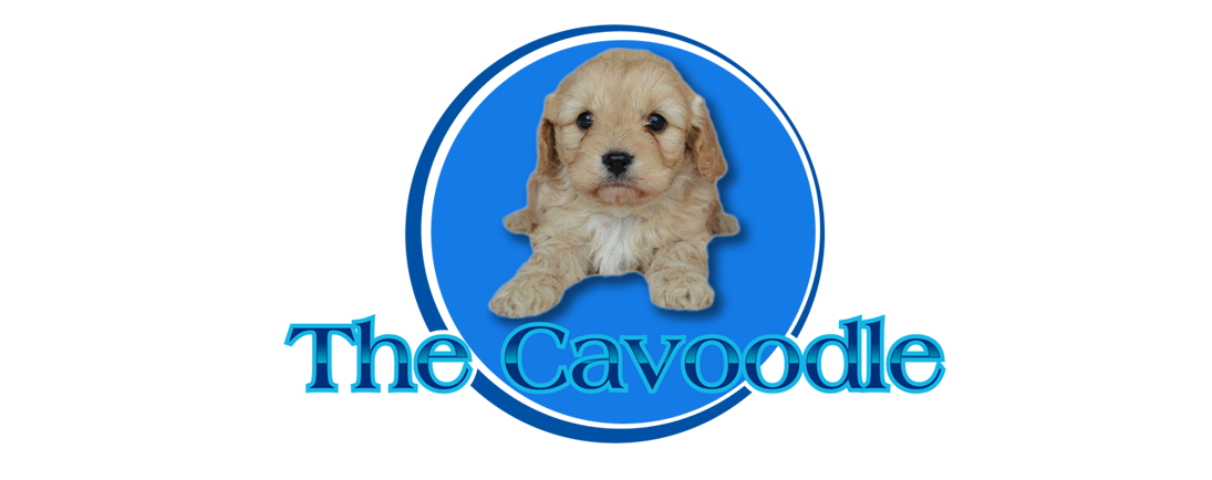The Cavoodle