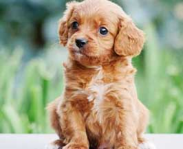 Red Cavoodle