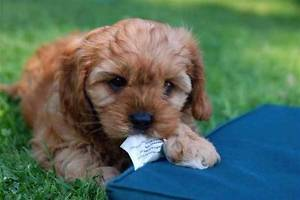 Cavoodle puppy with matress
