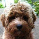 Cavoodle puppy face
