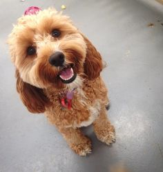 Excited Cavoodle