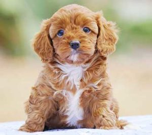 Well Bred Cavoodle Puppy Chevromist