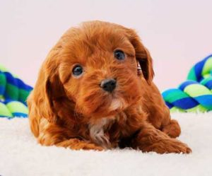 Chevromist Cavoodle Puppy learning name