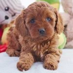 Chevromist Red Cavoodle puppy -CHFRF1