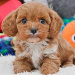 Cavoodle Puppy with toys