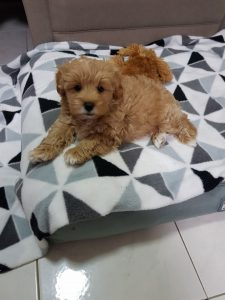 Chevromist Cavoodle puppy on his bed